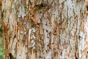 Image of flaky bark